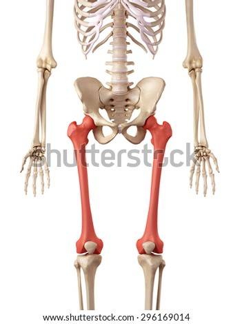 Medical Accurate Illustration Femur Bone Stock Illustration