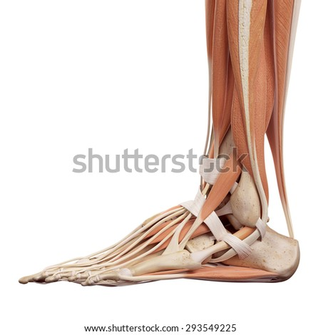 medical accurate illustration of the foot muscles - stock photo