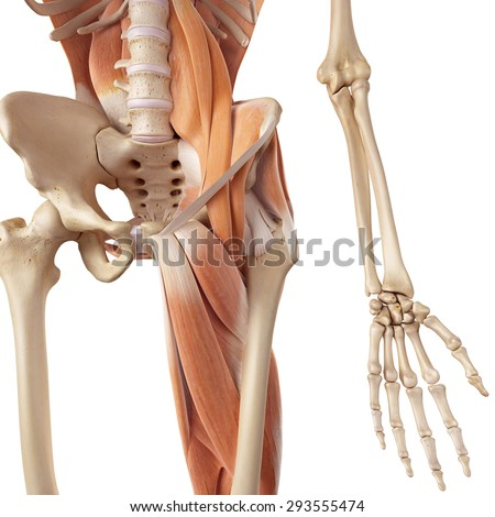 Medical Accurate Illustration Hip Leg Muscles Stock Illustration ...