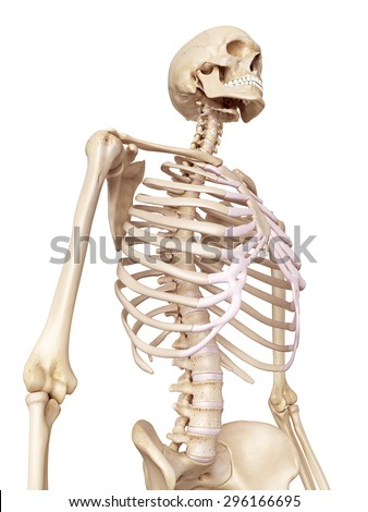 medical accurate illustration of the human skeleton - stock photo