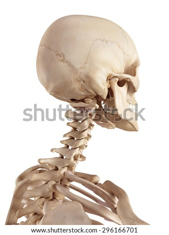 medical accurate illustration of the human skull and neck - stock photo