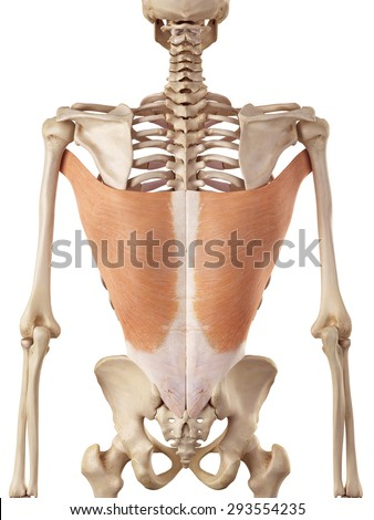 medical accurate illustration of the latissimus dorsi - stock photo