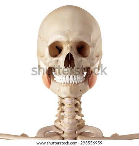 medical accurate illustration of the masseter superior - stock photo