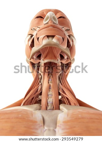 medical accurate illustration of the neck muscles - stock photo