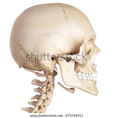 medical accurate illustration of the obliquus superior capitis - stock photo