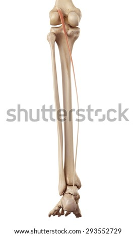 medical accurate illustration of the plantaris - stock photo