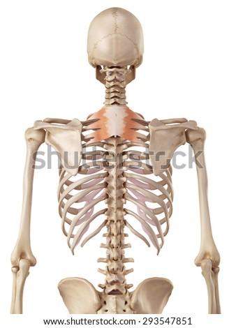 medical accurate illustration of the serratus posterior superior - stock photo