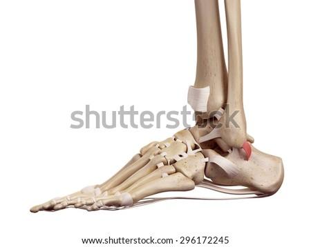 medical accurate illustration of the superior peroneal retinaculum ligament - stock photo