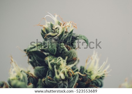 Medical cannabis bud, beautiful flower marijuana plants, the tip of the plant trichomes,