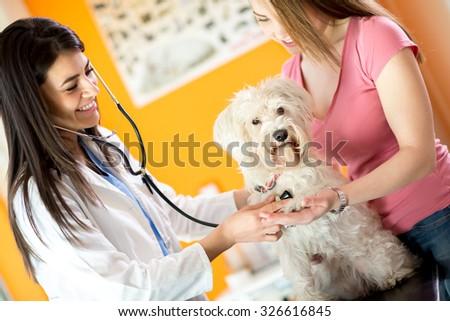 Medical checkup of breathing disease of sick Maltese dog in vet infirmary - stock photo