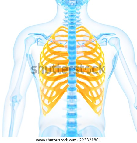 medical 3d illustration of the ribs