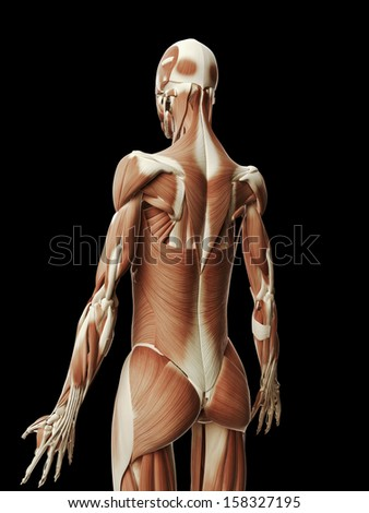 medical illustration of the female muscles - stock photo