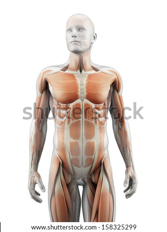 medical illustration of the muscles