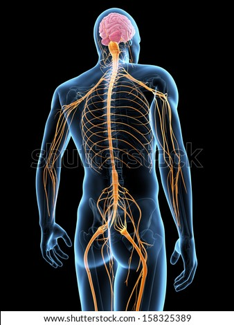 Stock Photo Medical Illustration Of The Nervous System