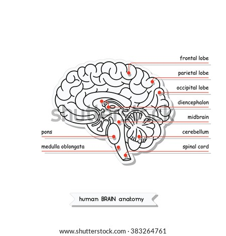Medical  illustration showing the structure of the human brain. Made in lineal flat style. Brain  cross section.