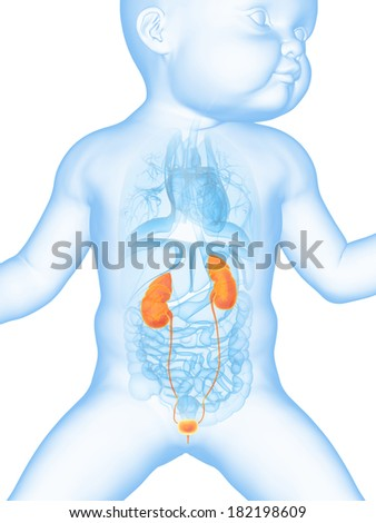 medical illustration showing the urinary system of a baby - stock photo