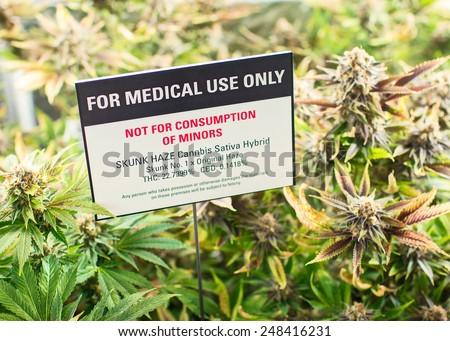 Medical marijuana dispensary grow garden - stock photo