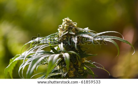 Medical Marijuana  grown within a greenhouse in accordance with California state law. - stock photo