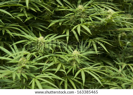 Medical marijuana leaves and flowers - stock photo