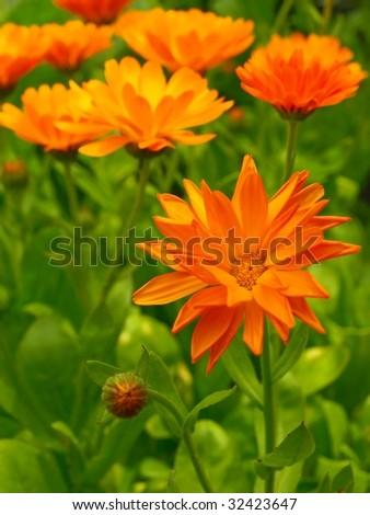 medical plant marigold