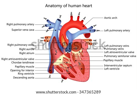 medical structure of the heart anatomy, illustration - stock photo