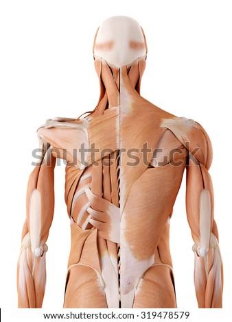 medically accurate anatomy illustration - back - stock photo