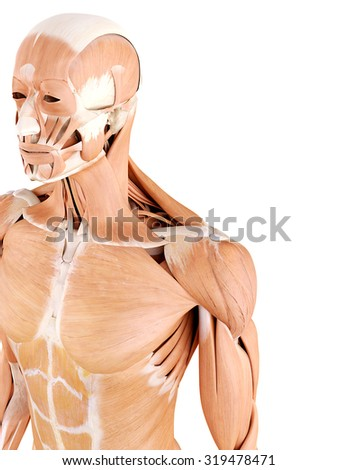 medically accurate anatomy illustration - shoulder muscles - stock photo