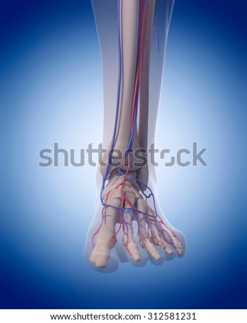 medically accurate illustration of the circulatory system - foot - stock photo