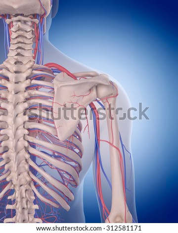 medically accurate illustration of the circulatory system - shoulder