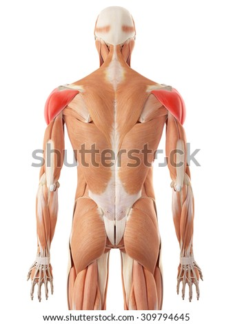 medically accurate illustration of the deltoid muscle - stock photo