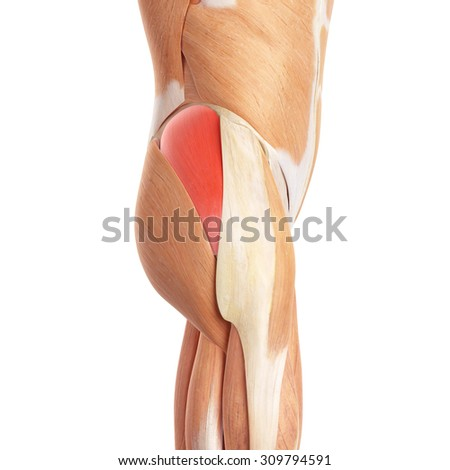 medically accurate illustration of the gluteus medius