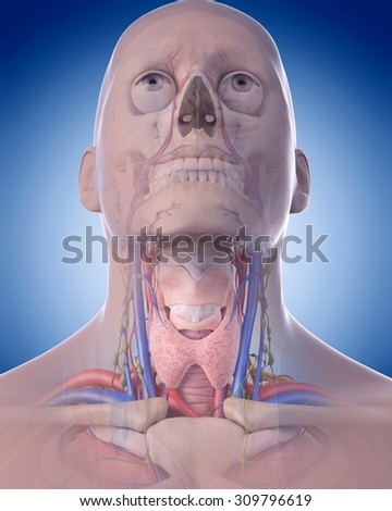 medically accurate illustration of the neck anatomy - stock photo