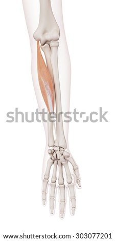 medically accurate muscle illustration of the flexor carpi radialis - stock photo