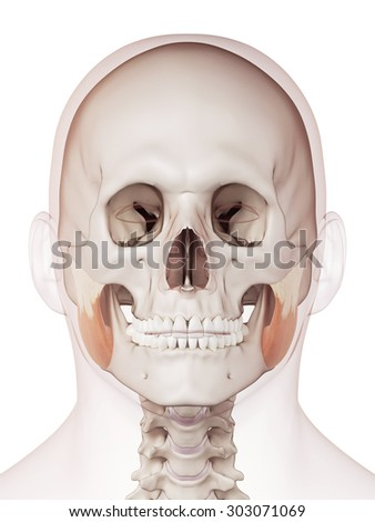 medically accurate muscle illustration of the masseter superior - stock photo