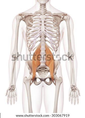 medically accurate muscle illustration of the psoas major - stock photo