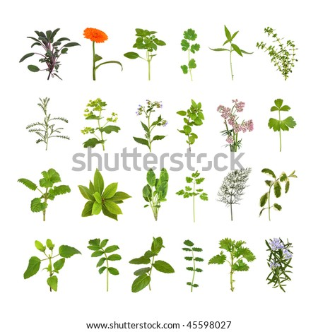 Medicinal and culinary herb flower and leaf selection, isolated over white background. - stock photo