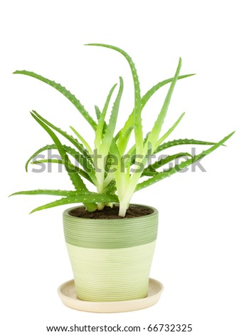 "Medicinal fan indoor plant - ""Aloe"" isolated on white"