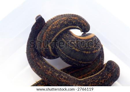 Medicinal Leech-hirudo medicinalis - stock photo