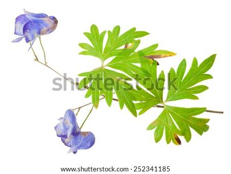 Medicinal plant: Aconite - stock photo