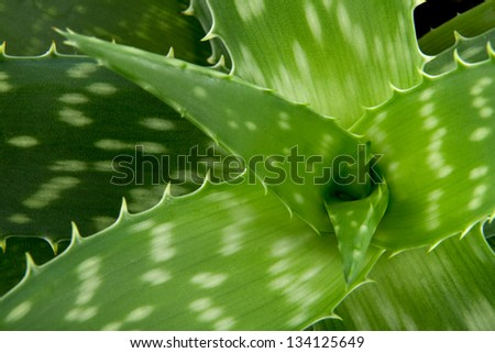 Medicinal plant aloe Vera, detail centre herbage - stock photo