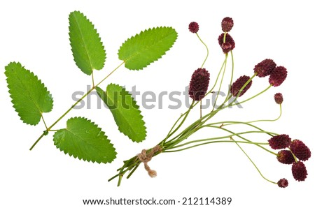 Medicinal plant: Burnet (Sanguisorba officinalis) - stock photo