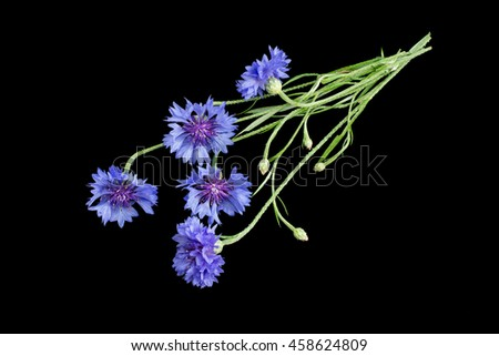 Medicinal plant Centaurea cyanus, commonly known as cornflower isolated on a black background - stock photo