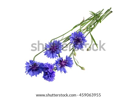 Medicinal plant Centaurea cyanus, commonly known as cornflower isolated on a white background  - stock photo