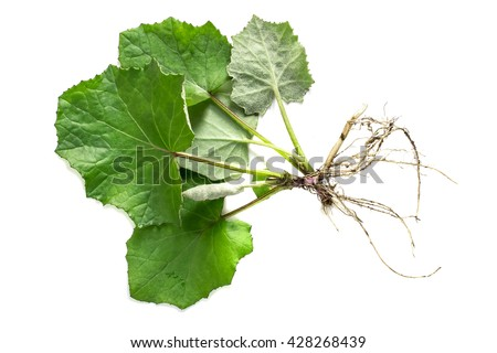 Medicinal plant coltsfoot (Tussilago farfara). The leaves and roots on a white background - stock photo