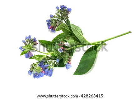 Medicinal plant comfrey (Symphytum officinale) on a white background. It is used for outdoor applications, promotes splicing bones. Caution, there are contraindications - stock photo