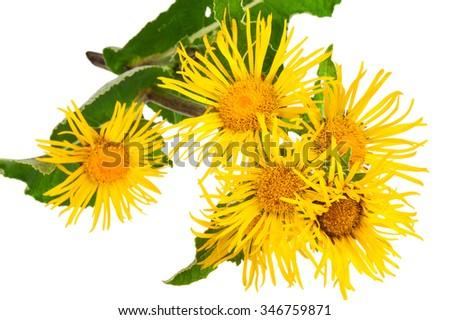 Medicinal plant. Elecampane (Inula helenium) - stock photo