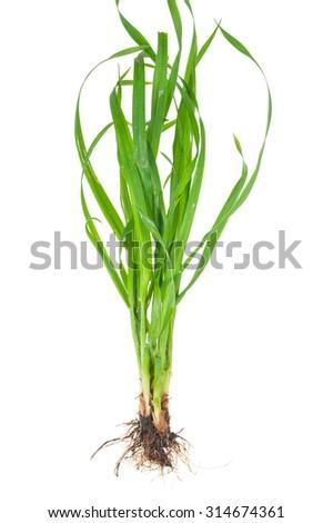 Medicinal plant: Elytrigia repens. Couch-grass - stock photo