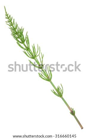 Medicinal plant: Equisetum arvense. Horsetail - stock photo