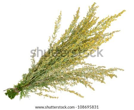 Medicinal plant. Sagebrush - stock photo
