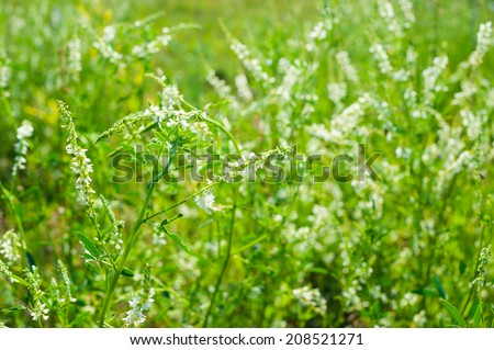 Medicinal plant: White sweet clover - stock photo